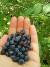 Wild Bluberries
