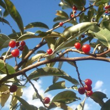 Autumn Olives on the branch