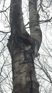 Harvested Chaga in the Southern Maine woods Keirsten's Kitchen